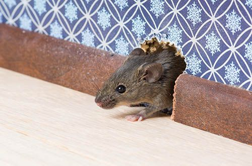 dealing_with_mice_peppermint_oil_dryer_sheets_and_other_crazy_tricks_to_try